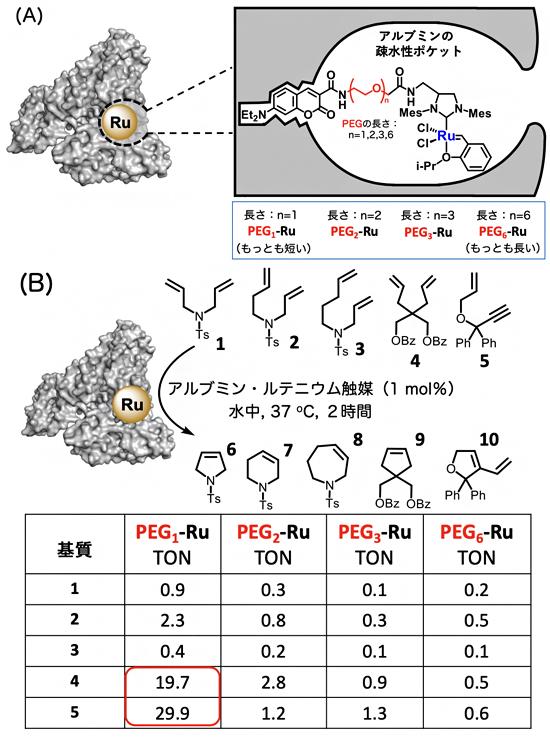 血清アルブミン疎水性ポケットへのルテニウム触媒の導入と閉環メタセシス反応の図