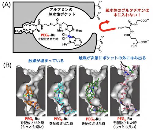 グルタチオン存在下でアルブミン・ルテニウム触媒が失活しない理由の図