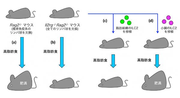 小腸のILC2が肥満の誘導に関与するの図