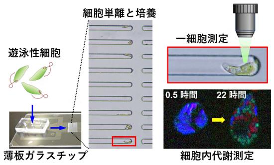 ガラス製マイクロ流体チップ内での泳ぐ細胞の単離・培養・代謝測定の図