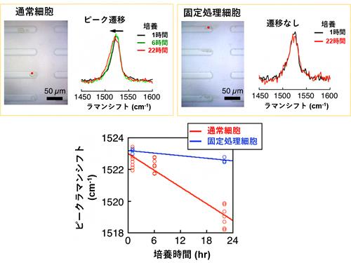 共鳴ラマン分光法による単離したユーグレナの代謝活動の確認の図