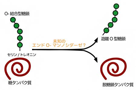 未知のエンドO-マンノシダーゼによるタンパク質からのO-結合型糖鎖の脱離反応の図