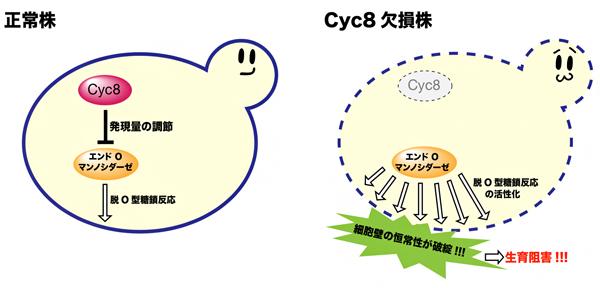 転写抑制因子Cyc8によるエンドO-マンノシダーゼの活性制御の図