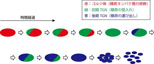 SCLIMにより明らかになったTGNの形成と消失の時空間ダイナミクスのイメージの図