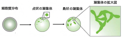 Par複合体(緑)の凝集により培養細胞で非対称性が生まれるまでの概要図の画像