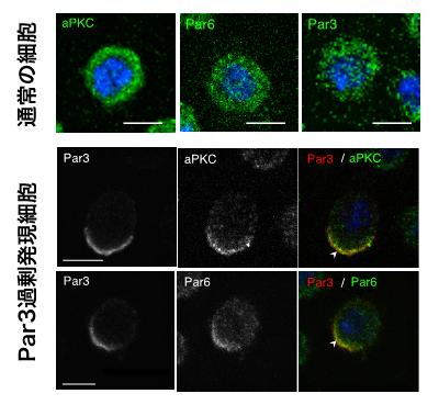 培養細胞において Par3の発現上昇により生じたタンパク質の非対称分布の図