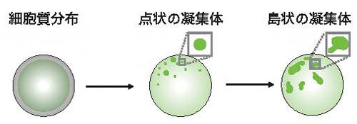 培養細胞上で非対称性が生まれる過程の概略図の画像