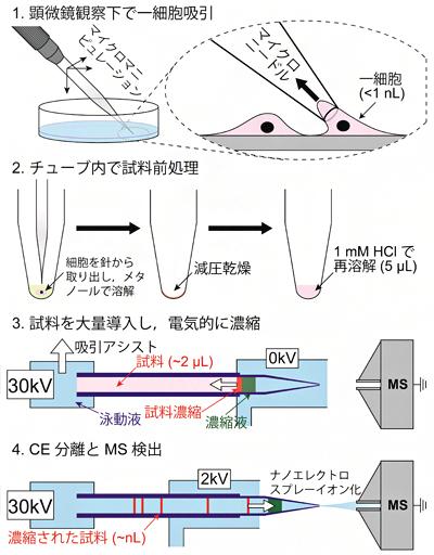 1細胞メタボローム分析の手順の図
