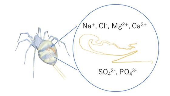 クモ糸の紡糸過程における、さまざまなイオンがシルクタンパク質の構造に与える影響の図