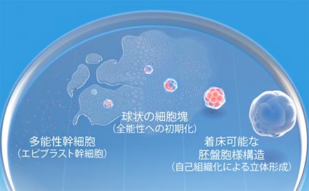 多能性幹細胞を培養し、立体的な胚盤胞の分化を再現するの図