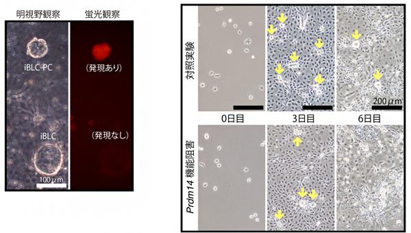 iBLCの形成に関わる遺伝子発現の図