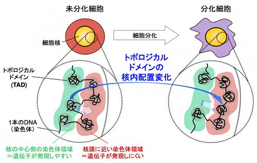細胞分化に伴う哺乳類染色体の三次元構造変化の図