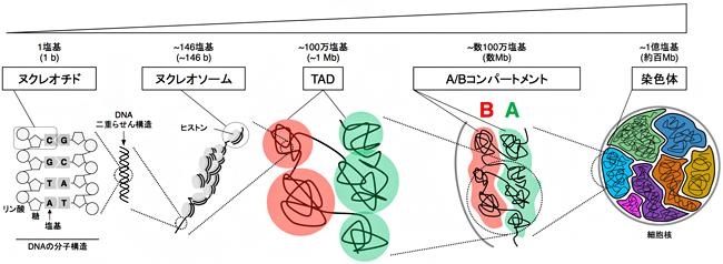 哺乳類の染色体の階層構造の図
