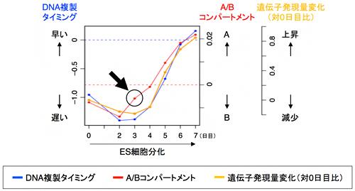 分化に伴うA/Bコンパートメント、DNA複製タイミング、遺伝子発現の変化の順序の図