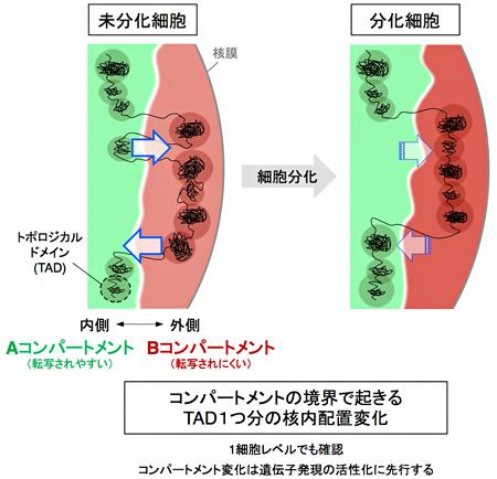 分化に伴うTADを単位とするA/Bコンパートメント変化のモデルの図