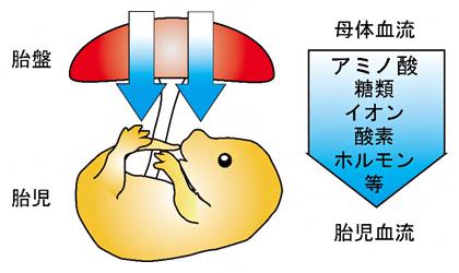 胎盤を介した母体血流から胎児血流への物質供給の図