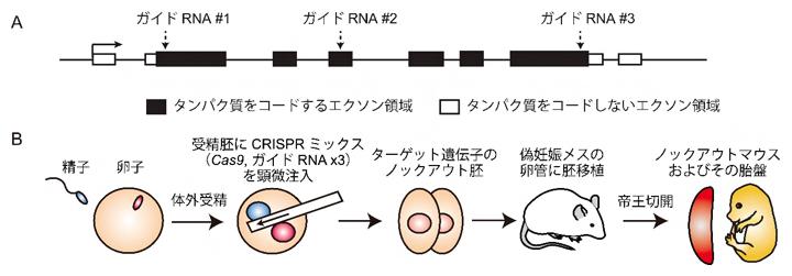 Triple-target CRISPR法によるノックアウトマウスの作製の図