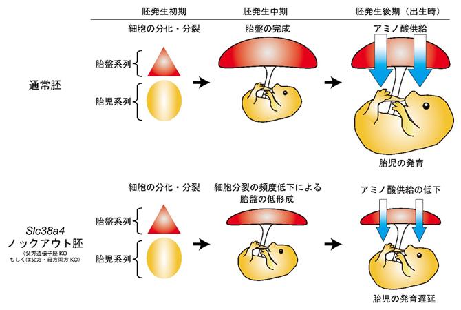 胎盤の低形成および胎児の発育遅延を引き起こすSlc38a4遺伝子のノックアウトの図