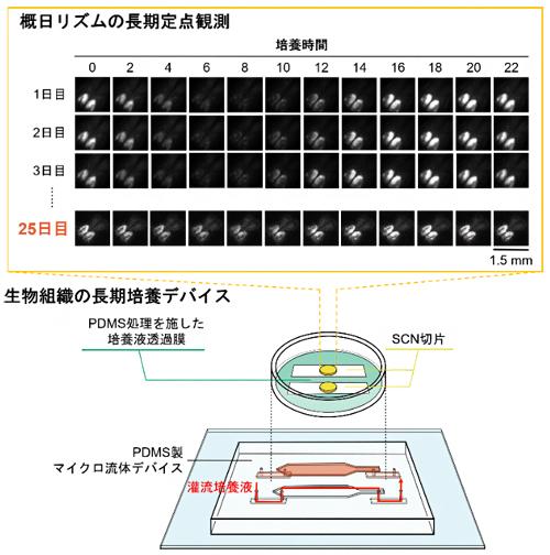 PDMS製流体チップ上での25日間の視交叉上核(SCN)活動測定の図