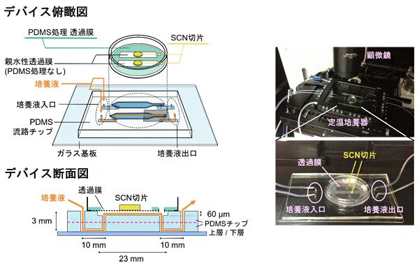 視交叉上核(SCN)の長期培養を行ったPDMS製マイクロ流体デバイスの図