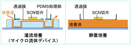 マイクロ流体デバイスを用いたSCN切片の灌流培養(左)と静置培養(右)の図