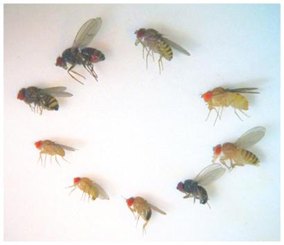 実験で用いた9種のショウジョウバエの図