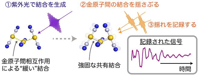 ジシアノ金錯体水溶液のフェムト秒時間分解インパルシブ・ラマン分光の概念図の画像
