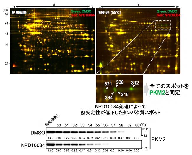 NPD10084によるPKM2タンパク質の熱安定性の低下の図