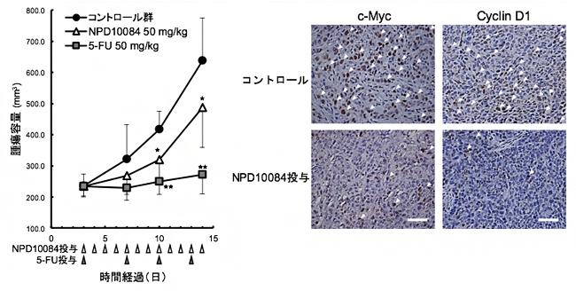 NPD10084による腫瘍増殖抑制(左)と腫瘍内におけるシグナル伝達阻害の図