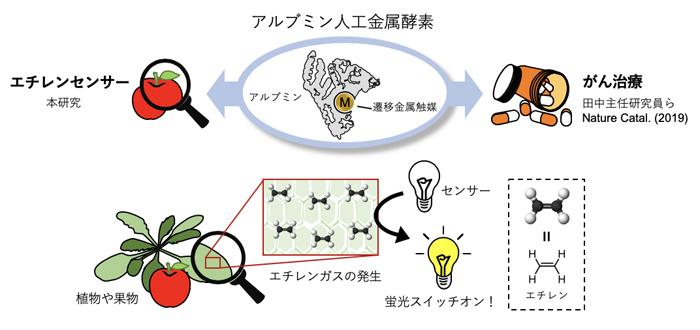 アルブミン人工金属触媒によるエチレンの検出の図