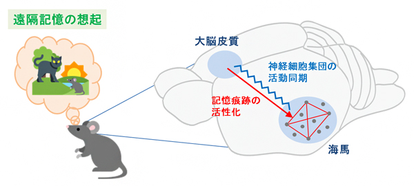遠隔記憶想起時の大脳皮質と海馬の相互作用の図
