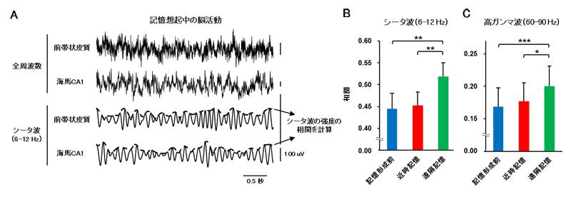 遠隔記憶想起時の前帯状皮質と海馬CA1領域の活動同期の図