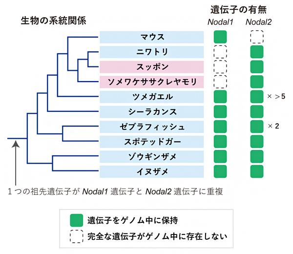 脊椎動物のNodal遺伝子の重複、保持、消失の歴史の図