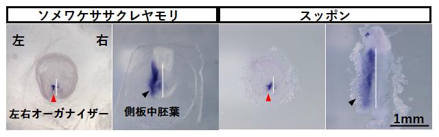 ソメワケササクレヤモリおよびスッポンの胚におけるNodal2遺伝子の発現パターンの図