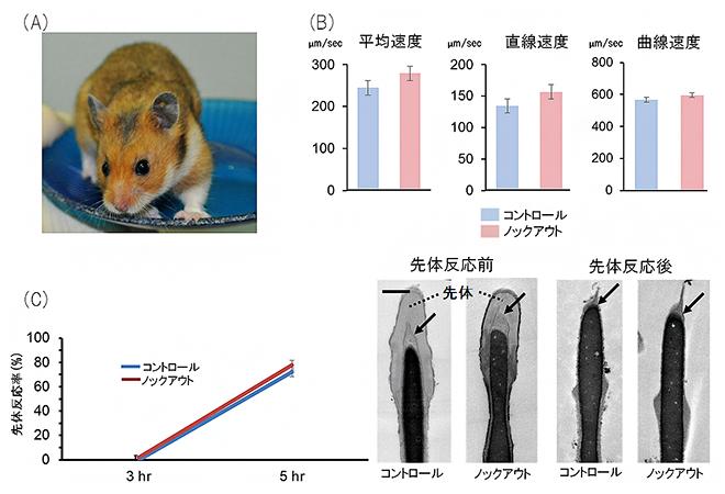 作出したアクロシンノックアウトハムスター精子の運動性と先体反応速度の結果の図