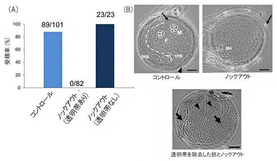 体外受精による受精率と受精胚の画像