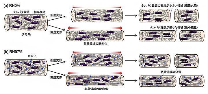 クモ糸の湿度と伸長速度依存的な破断挙動の模式図の図
