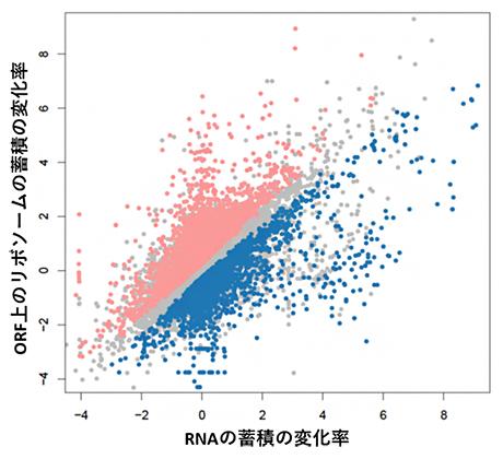 暗所から青色光への露光におけるRNA量とリボソーム量の相関の図
