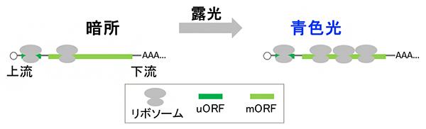 uORFの下流mORFの翻訳への影響のイメージ図の画像