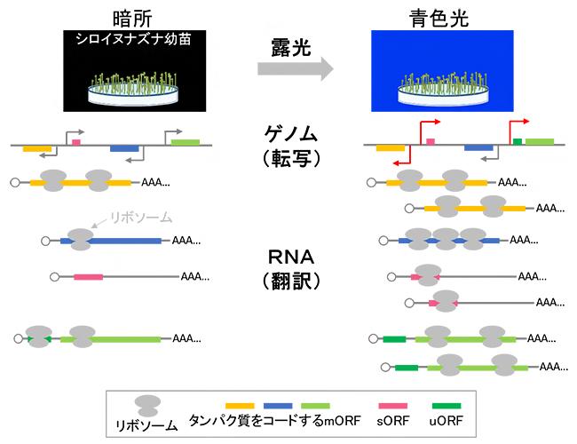 シロイヌナズナ幼苗の青色光への露光時における翻訳変化のイメージ図の画像