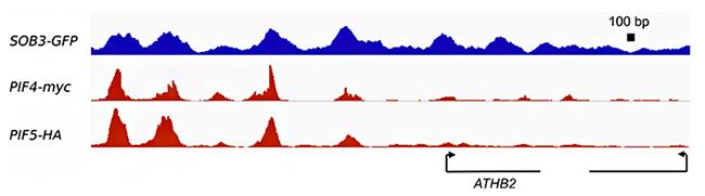 転写因子SOB3、PIF4、PIF5のDNA結合領域の図