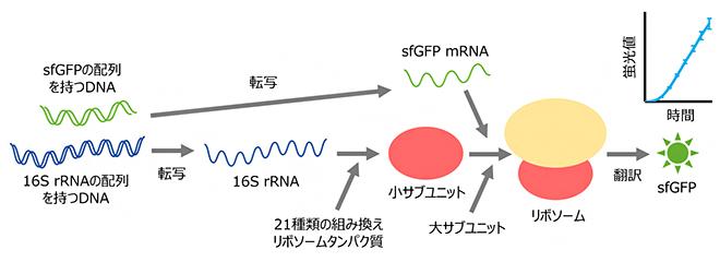 試験管内でリボソームの再構成とそれに伴うタンパク質合成を一挙に行う「R-iSAT」の図