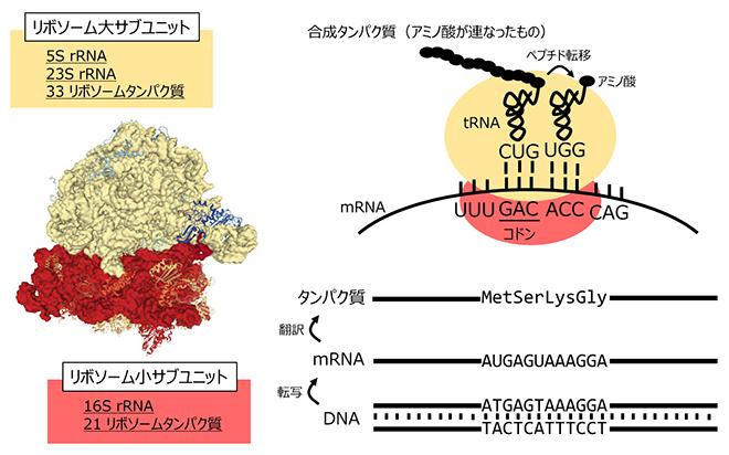 リボソームによるタンパク質合成の仕組みの図