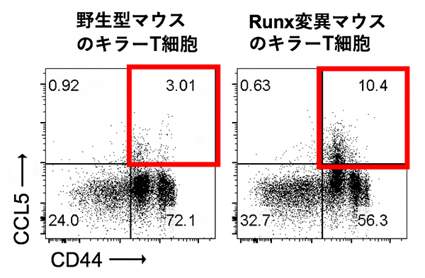キラーT細胞の培養後のCCL5の発現解析の図