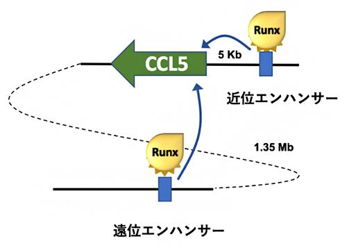 CCL5遺伝子の発現を調節する二つのエンハンサーの図