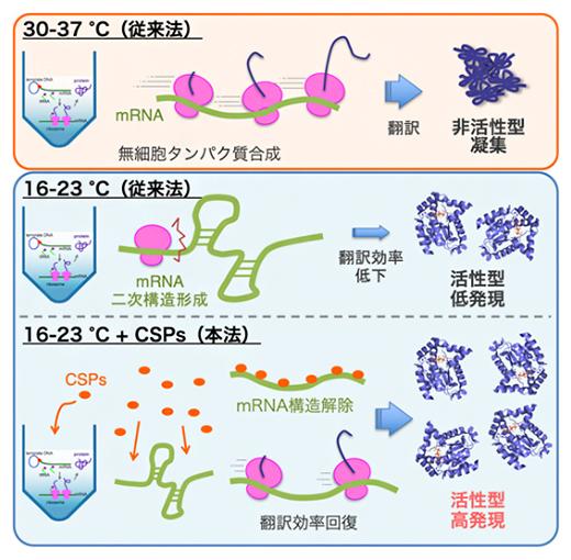 無細胞タンパク質合成における温度の影響と低温ショックタンパク質(CSP)の効果の図