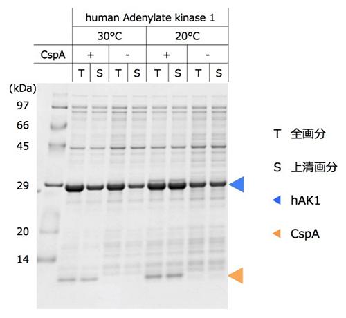 ヒト由来難発現タンパク質の発現量と可溶性に対するCspA添加の効果の図