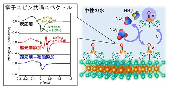 電子スピン共鳴分光法により特定されたMoV=O中間体と反応機構の概念図の画像