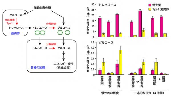 トレハロース代謝経路と体液中の糖濃度の変動の図