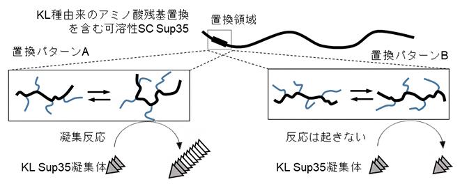 局所的な構造の動きが種特有タンパク質凝集体への反応性を制御するモデル図の画像